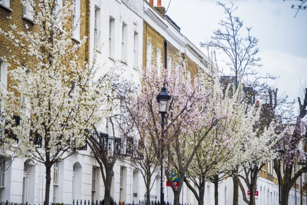 A row of tall white and brown brick townhouses stand behind a row of cherry trees displaying white and pink blossom