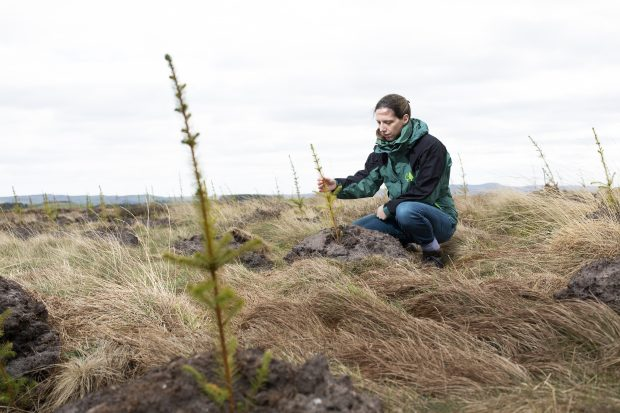 A woman wearing a jacket bearing the Forestry Commission logo is kneeling down to inspect a very young conifer tree. Another young tree is in the foreground of the picture