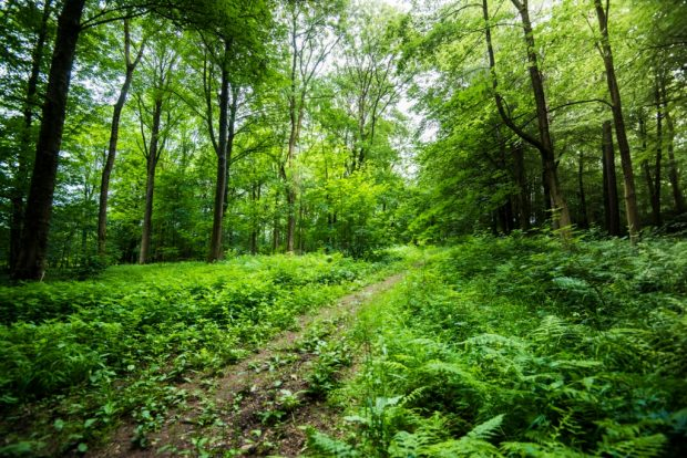 Looking into a woodland with a trail running through the middle of broadleaved trees. Dense grass and ferns cover the ground either side of the trail.