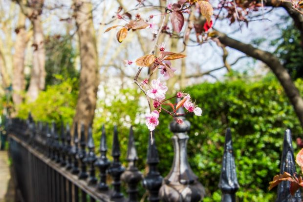 A branch of cherry blossom hangs over some iron railings