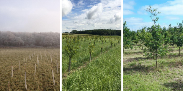Three images together depicting different stages of a woodland. On the right is the first stage when it has just been planted, in the middle when they have grown around 3 ft tall and at the end when they have doubled in size again.