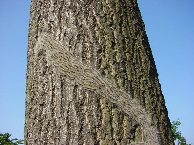 A thick line of grey furry catepillars are snaking up a tree trunk