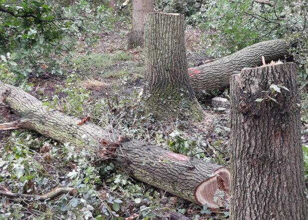 Illegally felled trees in a woodland.