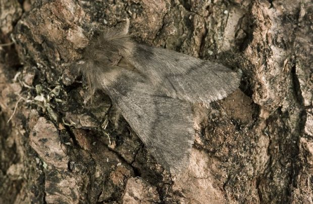 A close up of an OPM moth sitting on a tree trunk