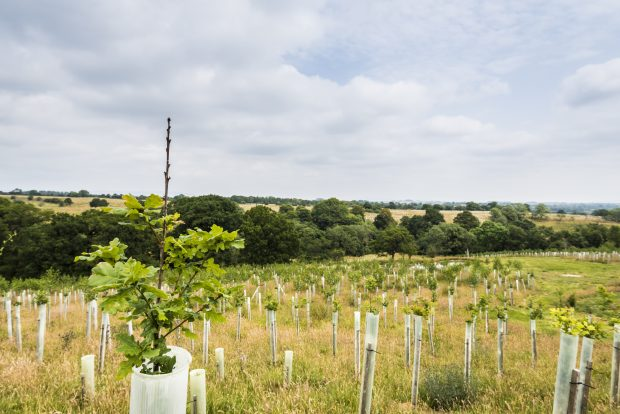 Newly-planted broadleaf trees in a field