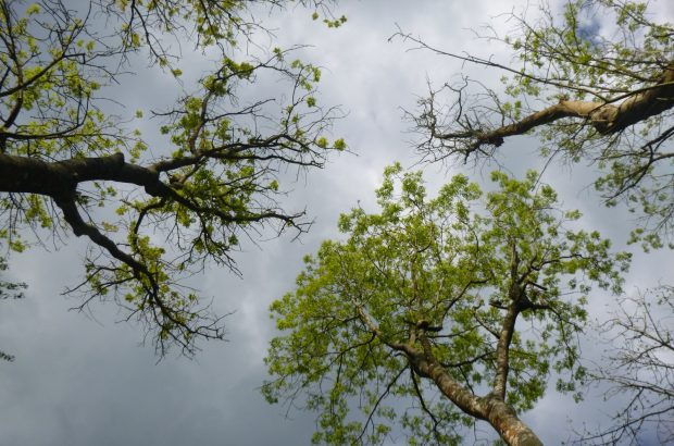 Three tree tops, one with a lot of green leaves, one with less and one with less again