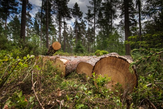 Timber logs in a woodland