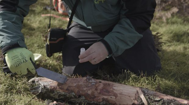 A tree Health Officer takes a sample from a fallen branch