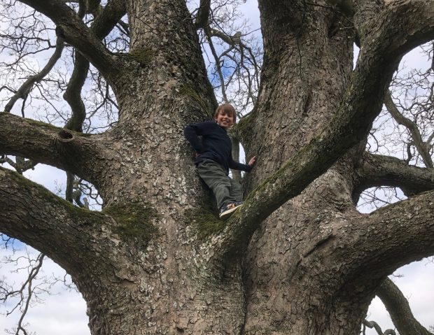 Sir Edward Milbank's son climbing a sycamore tree