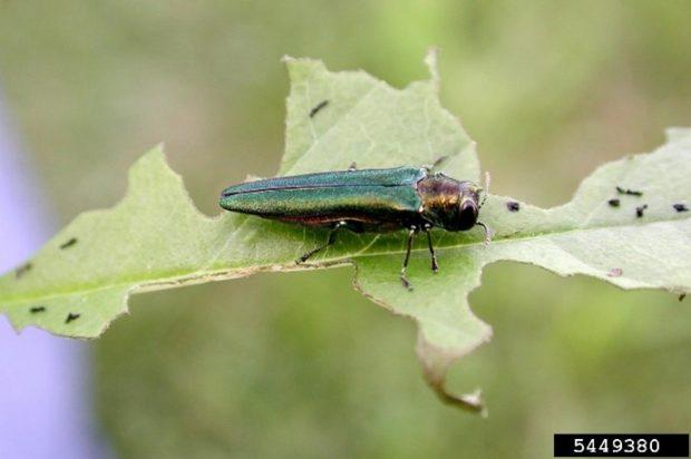 An Emerald Ash Borer Beetle on a leaf