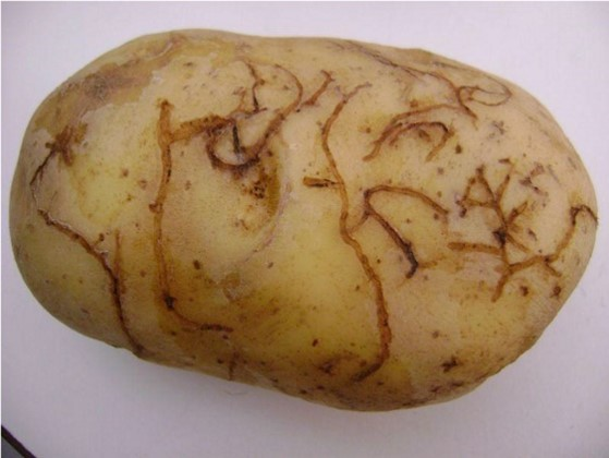 A potato with Tunnelling caused by potato flee beetle