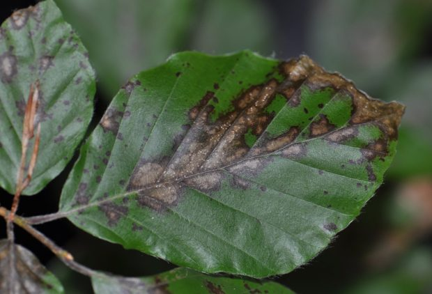 A leaf showing symptoms of Petrakia liobae