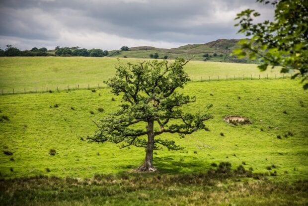 A large Oak tree in a field