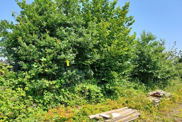 Yellow sticky traps placed on trees to detect the oak lace bug.